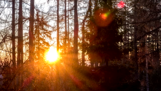 vídeos de stock e filmes b-roll de perfect sunrise timelapse behind trees – early winter morning - conífera