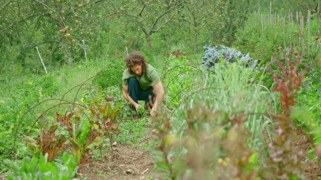 Permaculture gardener weeding the garden with his hands Wide locked down shot of a male gardener using his hands to pull the weeds in his permaculture garden. Shot in Slovenia. weeding stock videos & royalty-free footage