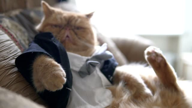 vídeos y material grabado en eventos de stock de gato persa en el traje con pajarita y chaqueta se sienta en el sofá como un jefe. - gato doméstico