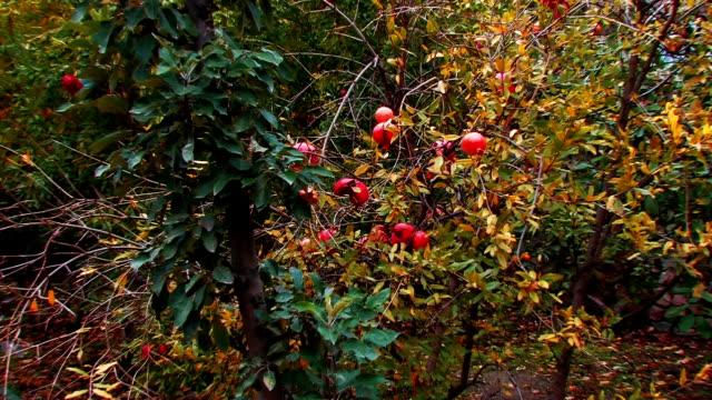vídeos de stock e filmes b-roll de dióspiro árvore de fruto - diospiro