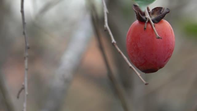 vídeos de stock e filmes b-roll de persimmon trees and fruits - diospiro