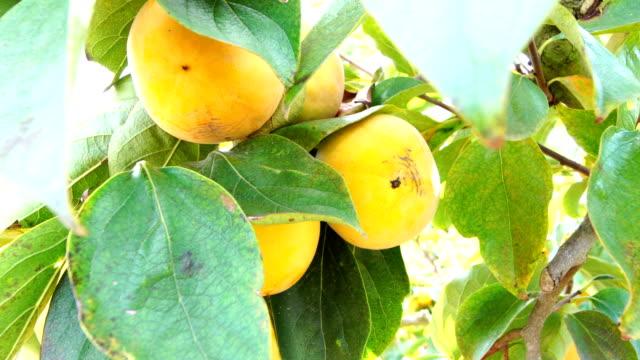 vídeos de stock e filmes b-roll de persimmon trees under the sun - diospiro