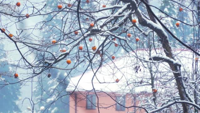 vídeos de stock e filmes b-roll de persimmons on tree - diospiro