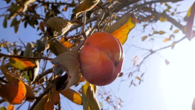 vídeos de stock e filmes b-roll de persimone tree garden - diospiro