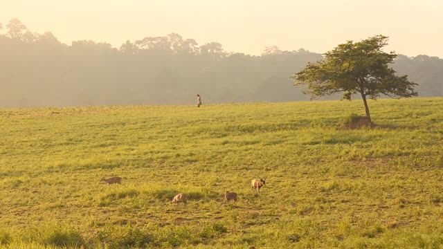 person and deer on grassland reserve. video
