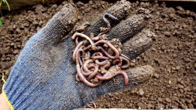 Person hand holding earthworms in outdoor, preparation before planting video