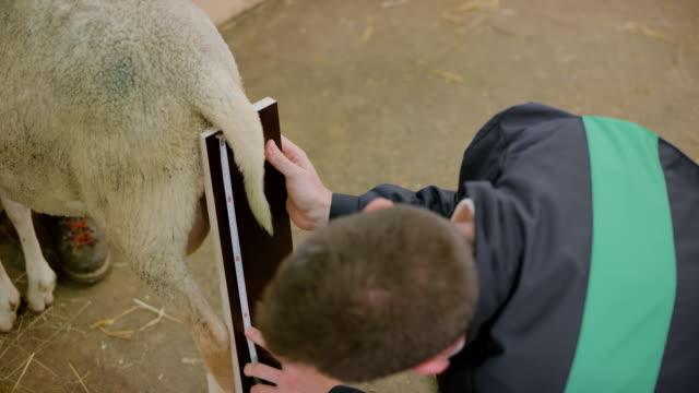 stockvideo's en b-roll-footage met persoon meten een schaap in de schuur - alleen één mid volwassen man
