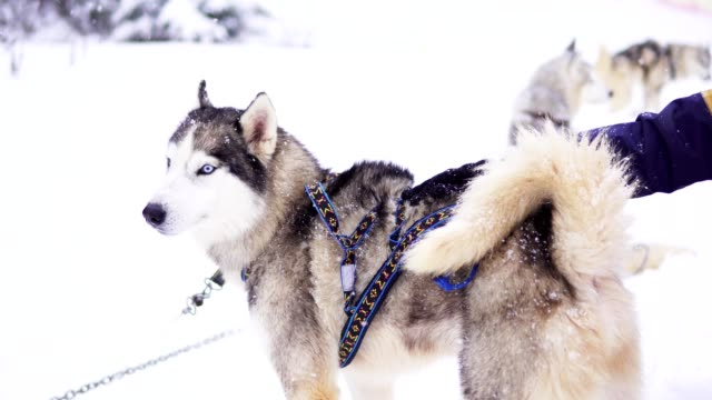 person's hand is stroking siberian husky in the snow - cane husky video stock e b–roll