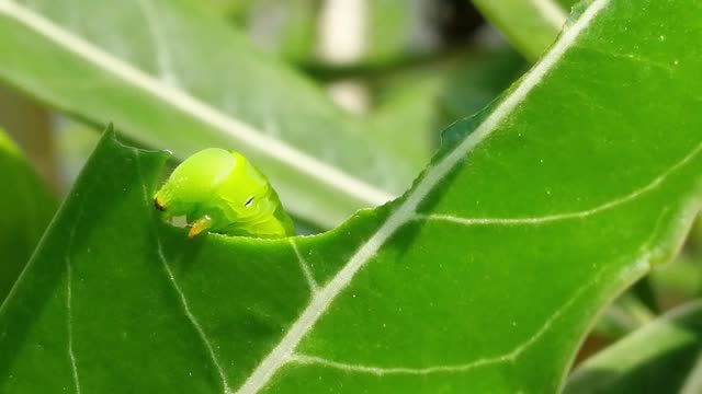 stockvideo's en b-roll-footage met pest, groene rups die adenium blad eet - rups