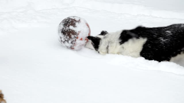 Pet Border Collie Running and Chasing Ball in the Snow video