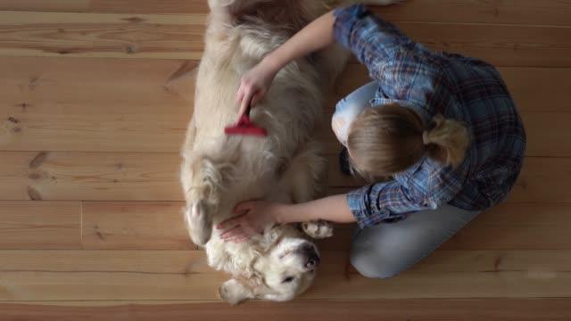 sällskapsdjur vård. kvinna är kamma en stor golden retriever hund med en metall grooming kam hemma. överläge - djurhår bildbanksvideor och videomaterial från bakom kulisserna