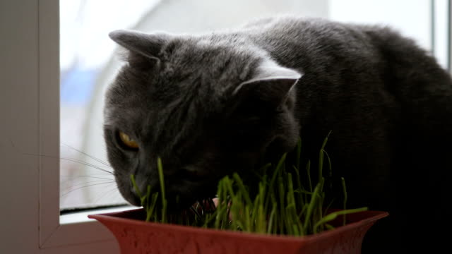 A pet cat eating fresh grass, the British breed cat video