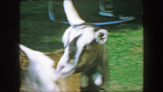 1957: Pet goat grooming cleaning self leashed in public park. video