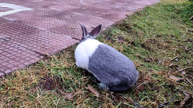 evcil tavşan beyaz ve siyah evde bahçe klibi yürüyüş - kemirgen stok videoları ve detay görüntü çekimi