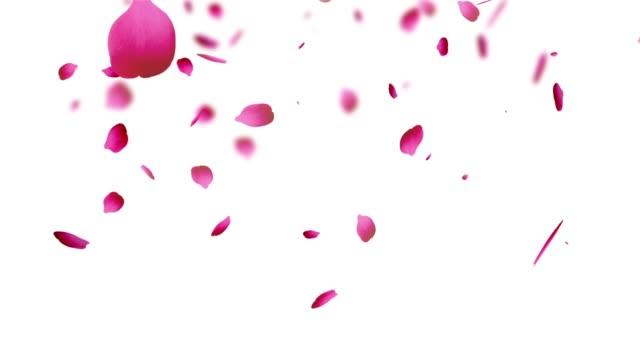 Petal rose pink background white
