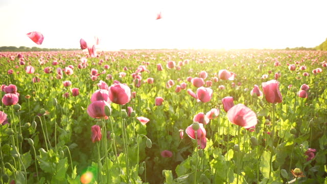 HD SUPER SLOW MO: Petals Falling Over Poppies video