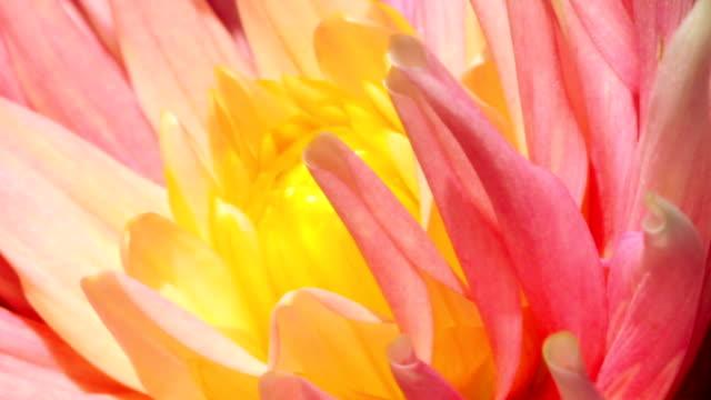 petals of a flower - macro