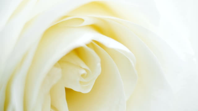 petals of a white rose bud - pantaloni capri video stock e b–roll