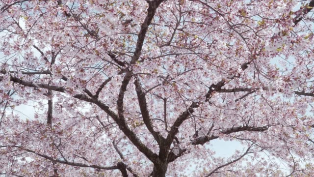 風によって降る桜の花びら - 桜点の映像素材/bロール