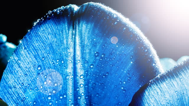 Petals of trendy blue color tulips with waterdrops, dew close-up, macro with sunlight and sunbeams. 16x9 4K video high quality. ProRes 422 HQ.