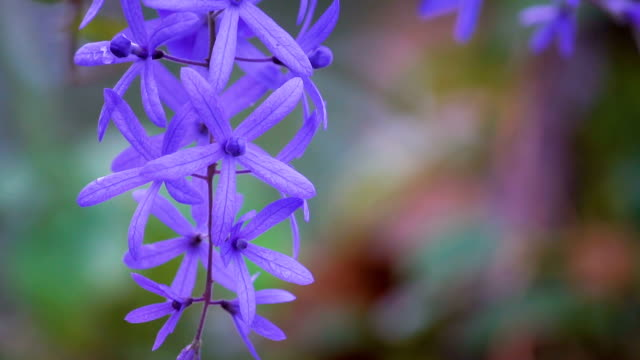Petrea volubilis flowers, Purple vine flowers video
