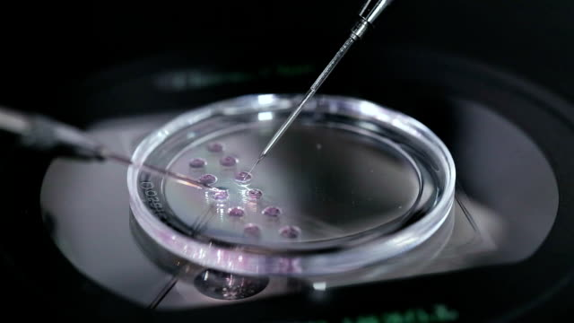 Petri dish with human egg. In vitro fertilisation.