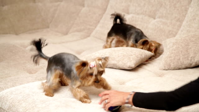 pets. close up two yorkshire terriers are playing together on the couch. the dogs are running, jumping and biting each other, their owner is looking at them - terrier video stock e b–roll