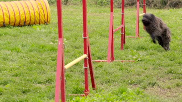 Pets running, agility race with dog jumping over hurdles video