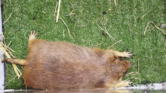 Petting marmot prairie groundhog lying and wagging tail on green
