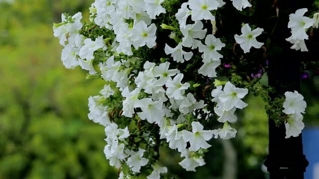 Petunia flowers. video