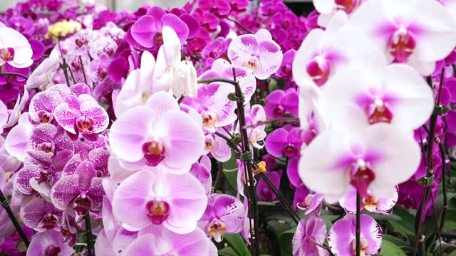 Phalaenopsis orchids bloom in a variety of colors in the garden
