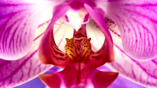 phanaelopsis orchidee blühenden - orchidee stock-videos und b-roll-filmmaterial