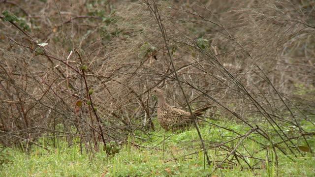 Pheasant 13 video