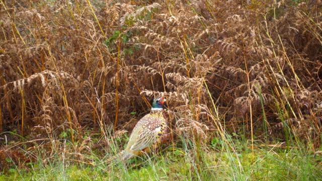 Pheasant and vegetation video