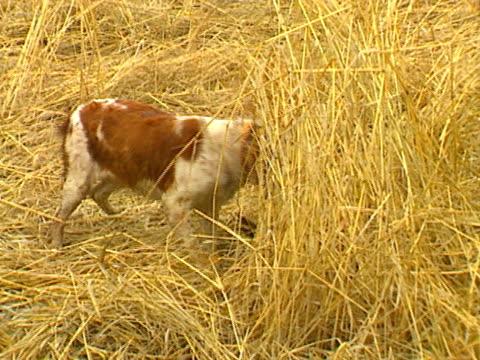 Pheasant Hunting 04 video