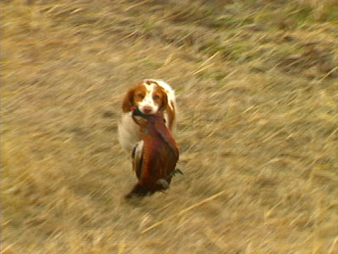 Pheasant Hunting 07 video