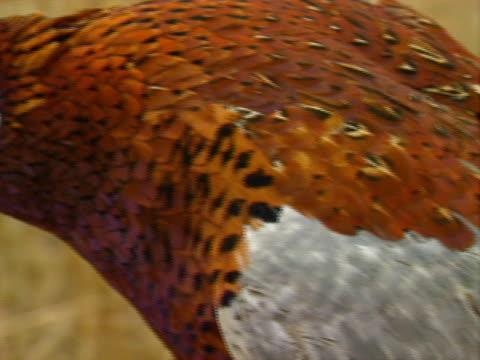 Pheasant Hunting 09 video