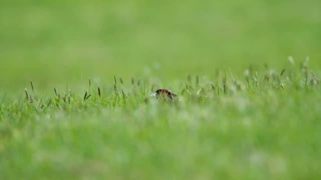 Pheasant in Grass video