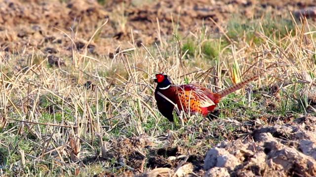 Pheasant in mud field
