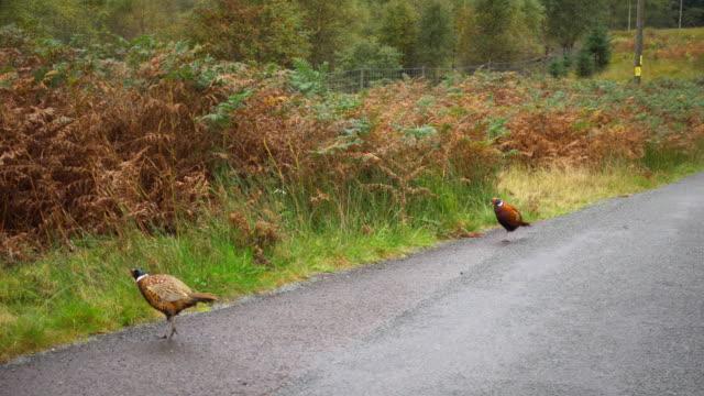 Pheasants near a road video