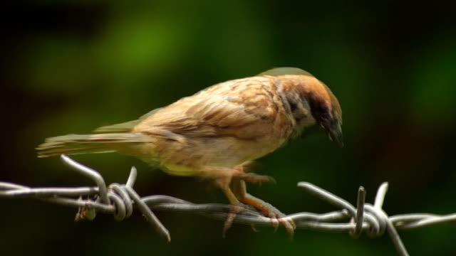 philippine maya or eurasian tree sparrow or passer montanus perch on barbed wire - filo metallico video stock e b–roll