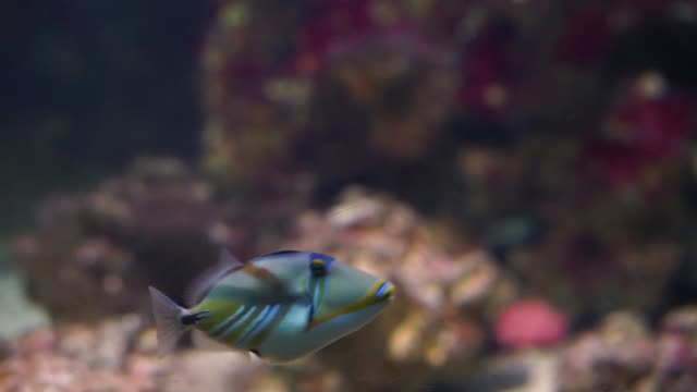 picasso triggerfisch schwimmen unter wasser, beliebte aquarium haustier in aquakultur, bunte tropische fisch-spezies - ichthyologie stock-videos und b-roll-filmmaterial