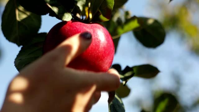 Pick apple from apple tree video