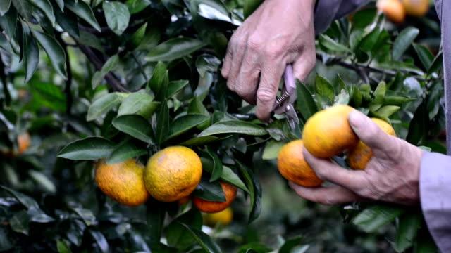 Elija naranjas - vídeo