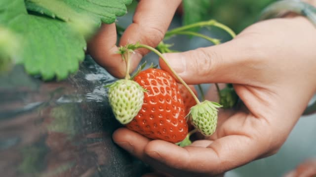 Pick strawberries in the greenhouse