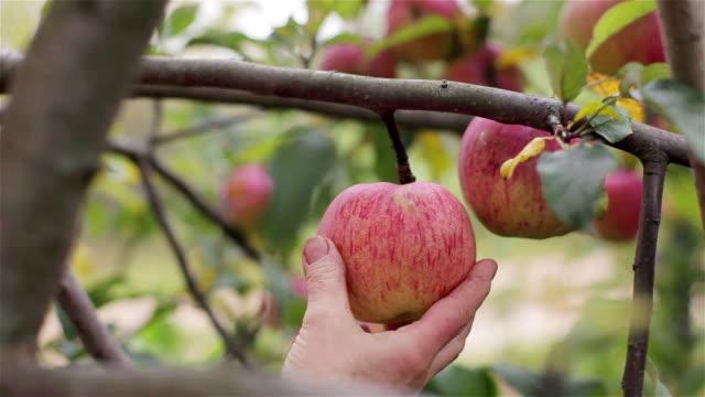 kommissionierung eine apfelernte hautnah. landwirt hand verdreht reifen roten apfel abrollen von ast sporn in apple orchard garten landschaft. ökologischer landbau eco essen einheimische früchte gesunde vitamine - faul ast stock-videos und b-roll-filmmaterial