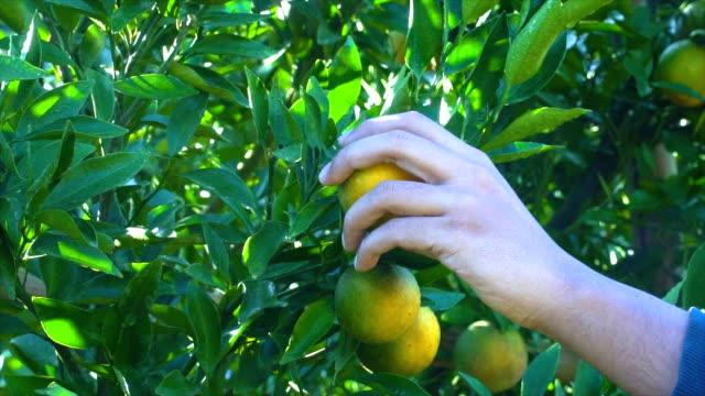slomo ツリーからオレンジを選ぶ - 熟していない点の映像素材/bロール