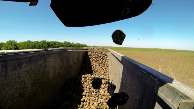 Picking and Loading Sugar Beets in Truck video