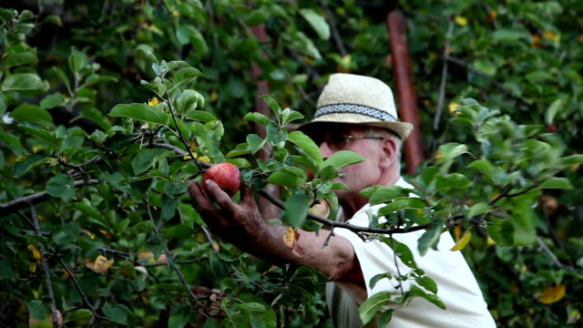 HD STOCK: Picking apples
