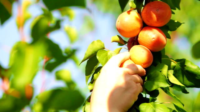 Picking Apricot from the Tree video